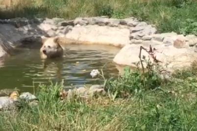iz-volera-na-ozero-belaya-medvedicza-chada-pereehala-iz-vasilevskogo-zooparka-v-zhitomirskij-czentr-reabilitaczii-medvedej-video.png