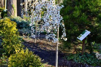 kak-czvetet-sakura-magnoliya-i-drugie-derevya-v-zaporozhe-fotoreportazh.jpg