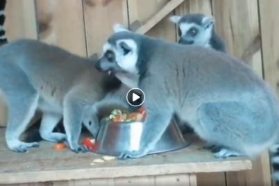 kak-malenkie-deti-v-berdyanskom-zooparke-pokazali-kak-kushayut-koshachi-lemury-video.png
