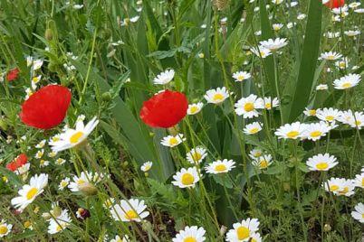krasnoe-pole-czvetov-poyavilos-v-odnom-iz-dvorov-zaporozhya-foto.jpg