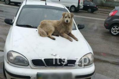 kuryoz-v-zaporozhe-na-kapot-priparkovannogo-avto-legla-otdohnut-sobakafoto.jpg