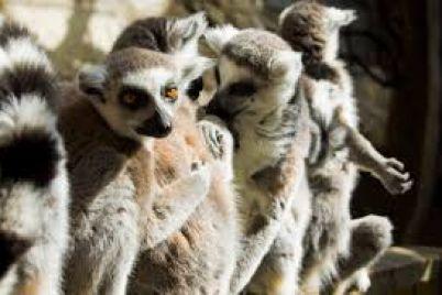lemuri-u-berdyanskomu-zooparku-otrimali-privatne-zhitlo.jpg