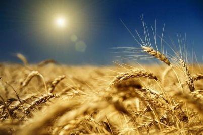 lidery-v-strane-zaporozhskie-agrarii-sobrali-rekordnyj-urozhaj-zerna.jpg