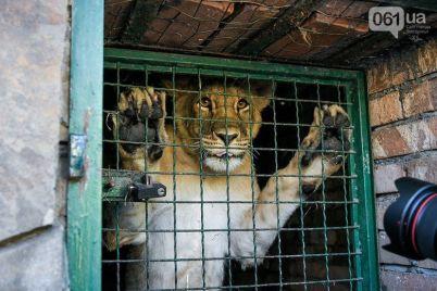lvov-iz-berdyanskogo-zooparka-otpravyat-v-yuzhnuyu-afriku.jpg