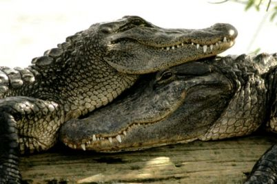 lyubov-s-pervogo-vzglyada-v-berdyanskom-zooparke-poyavilas-para-krokodilov-video.jpg