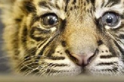 malenkie-lvenok-i-tigrenok-iz-zaporozhskoj-oblasti-pereehali-v-novyj-dom-video.jpg