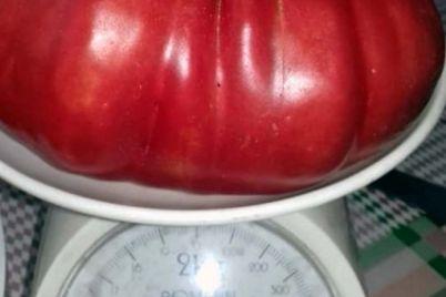 meshkanczi-pologiv-virostili-gigantski-pomidori.jpg