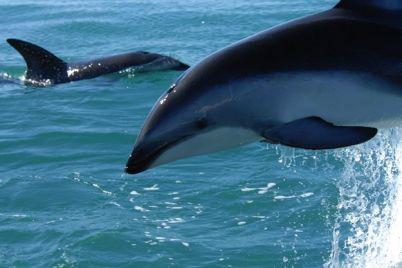 milota-v-kirillovku-zaplylo-semejstvo-delfinov.jpg