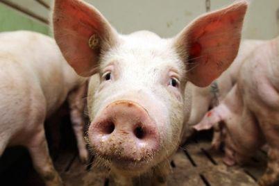na-ferme-v-zaporozhskoj-oblasti-zafiksirovali-afrikanskuyu-chumu-svinej.jpg