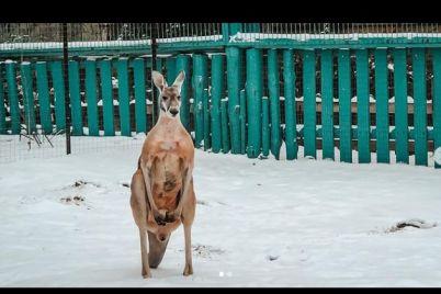 ne-poverili-svoim-glazam-v-berdyanskom-zooparke-kenguru-udivilis-pervomu-snegu-foto.jpg