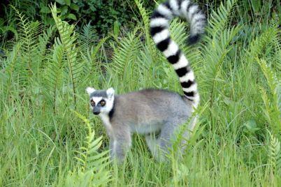 oni-kak-deti-v-berdyanskom-zooparke-pokazali-umlitelnyj-zavtrak-lemurov-video.jpg