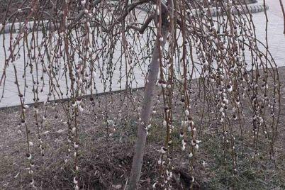 poyavilis-kotiki-v-zaporozhskoj-oblasti-verba-zametili-pushistye-pochki-fotofakt.jpg