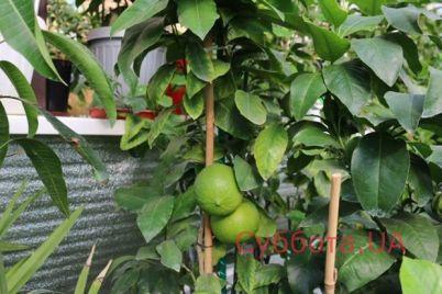 rozovye-banany-i-bergamot-zaporozhanka-vyrashhivaet-v-svoem-dome-ekzoticheskie-frukty-foto.jpg