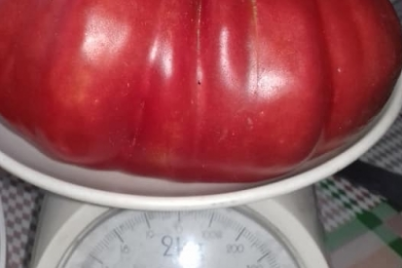 semya-iz-zaporozhskoj-oblasti-vyrastila-gigantskie-pomidory-foto.png