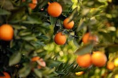 sezonni-smakoliki-yak-zaporizhczyam-obirati-idealni-czitrusovi.jpg