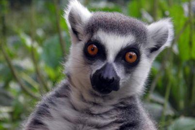 u-berdyanskomu-zooparku-narodivsya-malenkij-kotyachij-lemur.jpg