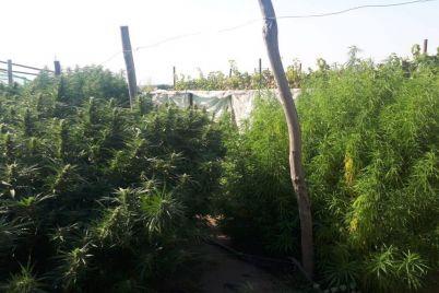u-zaporizkij-oblasti-vikrili-fermu-z-elitnimi-narkotichnimi-roslinami.jpg