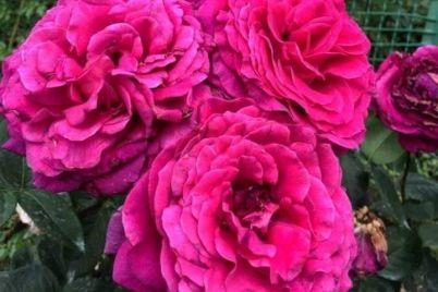 u-zaporizkomu-botanichnomu-sadu-kvitnut-troyandi-foto.jpg