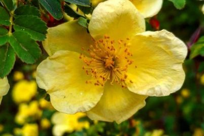 u-zaporizkomu-botanichnomu-sadu-rozkvitnula-troyanda-zi-skladnoyu-nazvoyu-foto.jpg