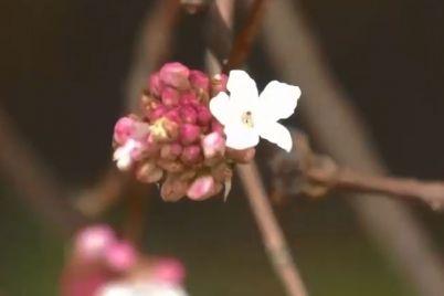 u-zaporizkomu-botanichnomu-sadu-zaczvila-zapashna-kalina.jpg