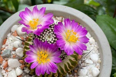 u-zaporozhanki-doma-yarko-zaczveli-kaktusy-foto.jpg