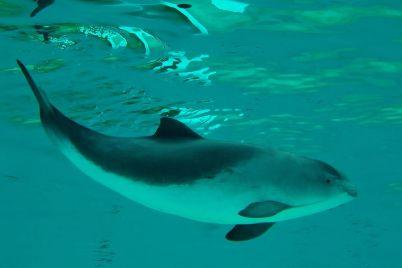 udivitelnoe-ryadom-v-berdyanske-na-kose-pleshhutsya-redkie-delfiny-video.jpg