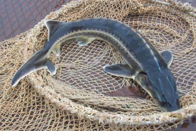 v-azovskom-more-brakonery-vylovili-osetrovyh-na-million-rybu-vypustili-v-vodu.jpg