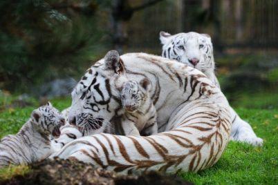 v-berdyanskom-zooparke-pokazali-podrosshih-belyh-tigryat-video.jpg