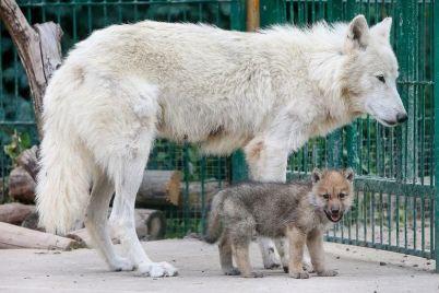 v-berdyanskom-zooparke-rodilis-semero-polyarnyh-volchat-video.jpg