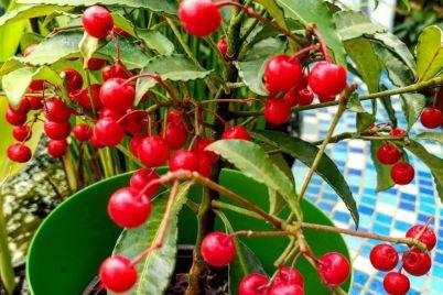 v-botanicheskom-sadu-zaporozhya-pokazali-kust-s-rozhdestvenskimi-yagodami-foto.jpg