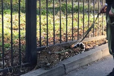 v-czentre-kieva-na-povodke-gulyal-leopard-foto-video.jpg