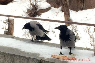v-kievskom-zooparke-vorony-ukrali-iz-volera-lvov-kost-foto.jpg
