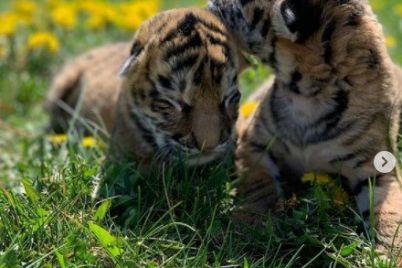 v-melitopolskom-zooparke-vyhazhivayut-tigryat-ot-kotoryh-otkazalas-mama.jpg