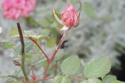 v-sadu-u-zhitelniczy-zaporozhskoj-oblasti-sredi-zimy-czvetut-rozy-foto.jpg