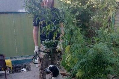 v-shevchenkovskom-rajone-zaporozhya-vyyavili-plantacziyu-marihuany-foto.jpg