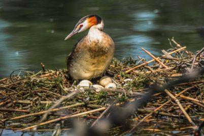 v-zaporozhe-na-dnepre-dikie-pticzy-vysizhivayut-ptenczov-foto.jpg