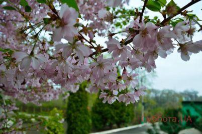 v-zaporozhe-zaczvela-sakura-i-zagadochnaya-alstromeri-foto-video.jpg