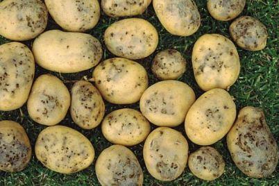 v-zaporozhskih-supermarketah-prodayut-isporchennyj-kartofel-foto.jpg