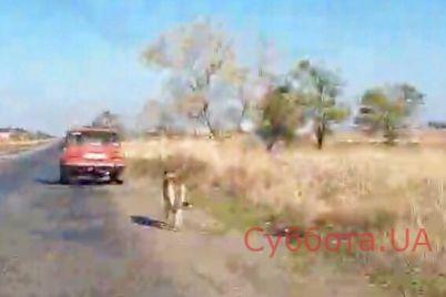 v-zaporozhskoj-oblasti-lyudi-zashhitili-kozu-ot-napadeniya-volka-video.jpg