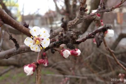 v-zaporozhskoj-oblasti-nachinayut-rasczvetat-abrikosy-foto.jpg