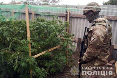 v-zaporozhskoj-oblasti-nakryli-krupnye-plantaczii-konopli-video.jpg