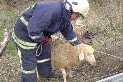 v-zaporozhskoj-oblasti-proveli-operacziyu-po-spaseniyu-ovczy-foto.jpg