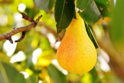 v-zaporozhskoj-oblasti-vyrastili-frukt-velikan-foto.jpg