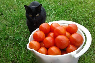 v-zaporozhskoj-oblasti-vyrosli-udivitelnye-pomidory-foto.jpg