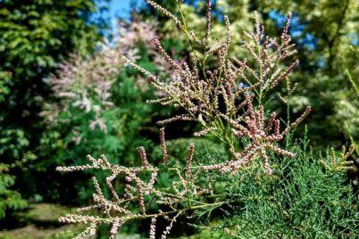 v-zaporozhskom-botanicheskom-sadu-czvetet-bozhe-derevo-foto.jpg