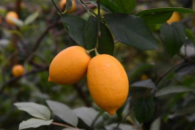 v-zaporozhskom-botanicheskom-sadu-nachalo-plodonosit-neobychnoe-rastenie-foto.jpg