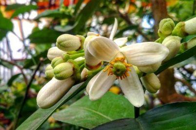 v-zaporozhskom-botanicheskom-sadu-zaczveli-limony-foto.jpg
