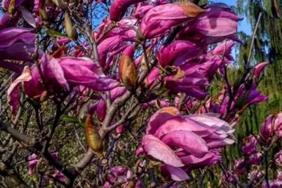 v-zaporozhskom-botanicheskom-sadu-zaczveli-magnolii-fotofakt.png