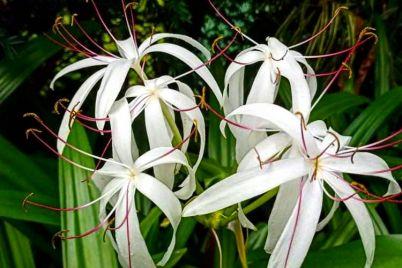 v-zaporozhskom-botsadu-czvetut-ogromnye-lilii-foto.jpg