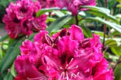 v-zaporozhskom-botsadu-massovo-czvetut-rododendrony-foto.jpg